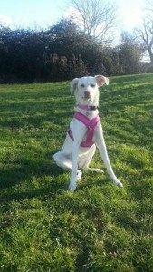 Dog walking and puppy training with Minnie