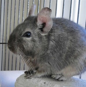 Silver our pet degu