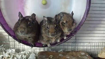 Our pet degus
